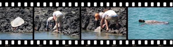 Galápagos, Santa Isabela, Los Tintoreros: Wir retten eine verirrte Wasserschildkröte, Jo aus München und unser Guide packen an