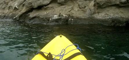 Galápagos, Tagus Cove, Kajaking: EIn scheuer, einsamer Galápagos Pinguin