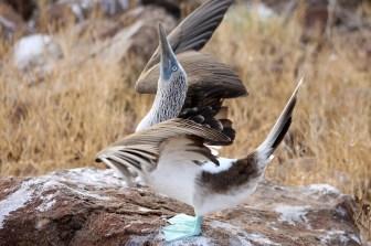 Galapagos, La Pinta, North Seymour: Werbendes Blaufußtölpel-Männchen (Sula nebouxii)