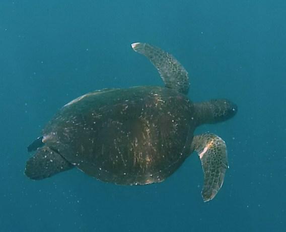 Galápagos, La Pinta, Santa Isabela, Punta Vincente Roca: Die Wasserschildkröte ließ sich durch uns Schnorchler nicht irritieren