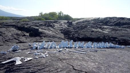 Galápagos, La Pinta, Fernandina, Punta Espinoza: Walskelett