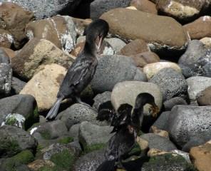Galápagos, La Pinta, Santa Isabela, Punta Vincente Roca: Flightless Cormorant - Der flugunfähige Kormoran ist auch eine endemische Art