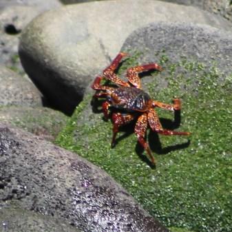 Galápagos, La Pinta, Santa Isabela, Punta Vincente Roca: Rote Klippenkrabbe