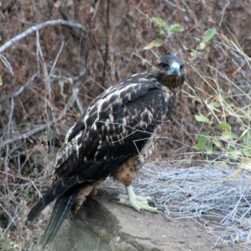 Galápagos, Urbina Bay: Einen Galápagos Hawk (Falke) vor die Linse zu bekommen ist ein sehr seltenes Glück