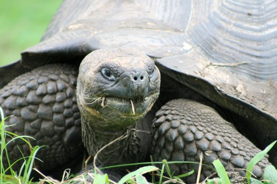 Galápagos, Santa Cruz, Rancho Manzanillo: Faszinierende Riesenschildkröten sog. Giant Tortoise