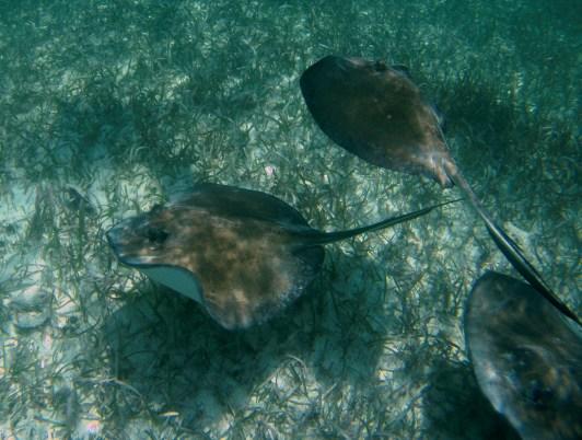 Belize Barrier Reef, Shark & Ray Alley: Achtung! Rochen im Anflug