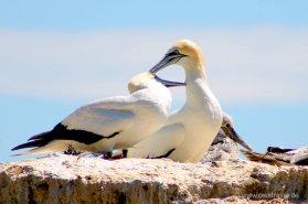 Cape Kidnapper, Black Reef: Gegenseitige Gefiederpflege als Liebesbeweis