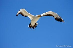 Cape Kidnapper: Achtung ein Tölpel im Landeanflug!