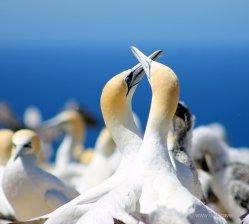 Cape Kidnapper: Schmusen ist für Gannets unverzichtbar