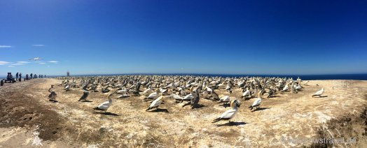 Cape Kidnapper: Dieser Tölpel-Kolonie kommt man sehr nahe und das riecht man auch deutlich