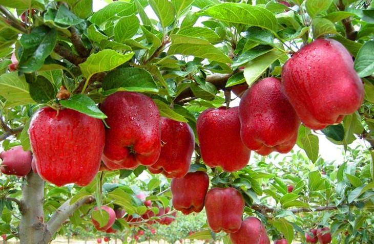 PROFITABLE APPLE FARMING IN KENYA - Oxfarm Organic Ltd