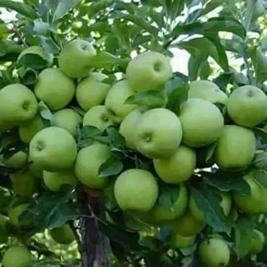 apple fruits grown in Kenya