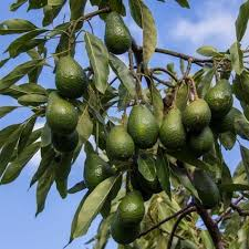 sustainable hass avocado farming in kenya