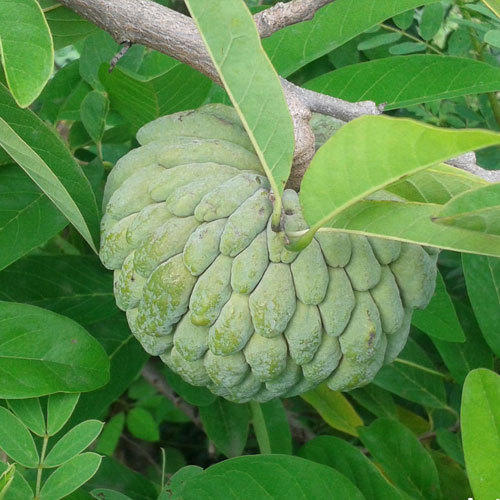 Custard apple farming