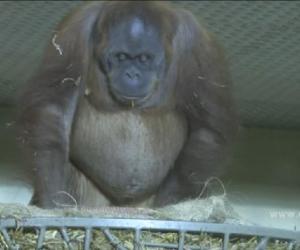 orangutan birth video