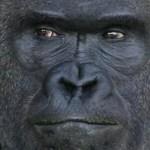 hot gorilla