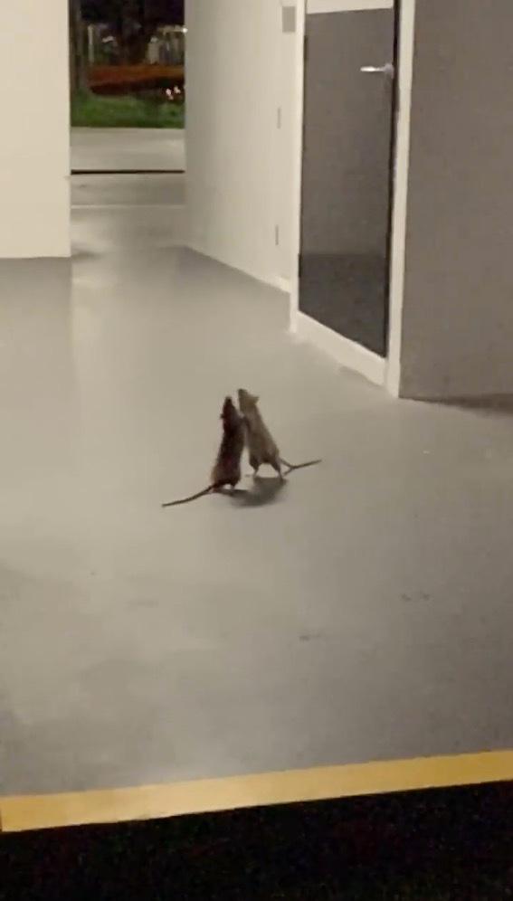 Sin Linkin Park de fondo: Dos ratas se agarran a golpes mientras un gato las observa