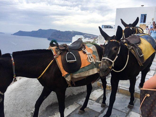 Esel in Oia, Santorini / Oyster