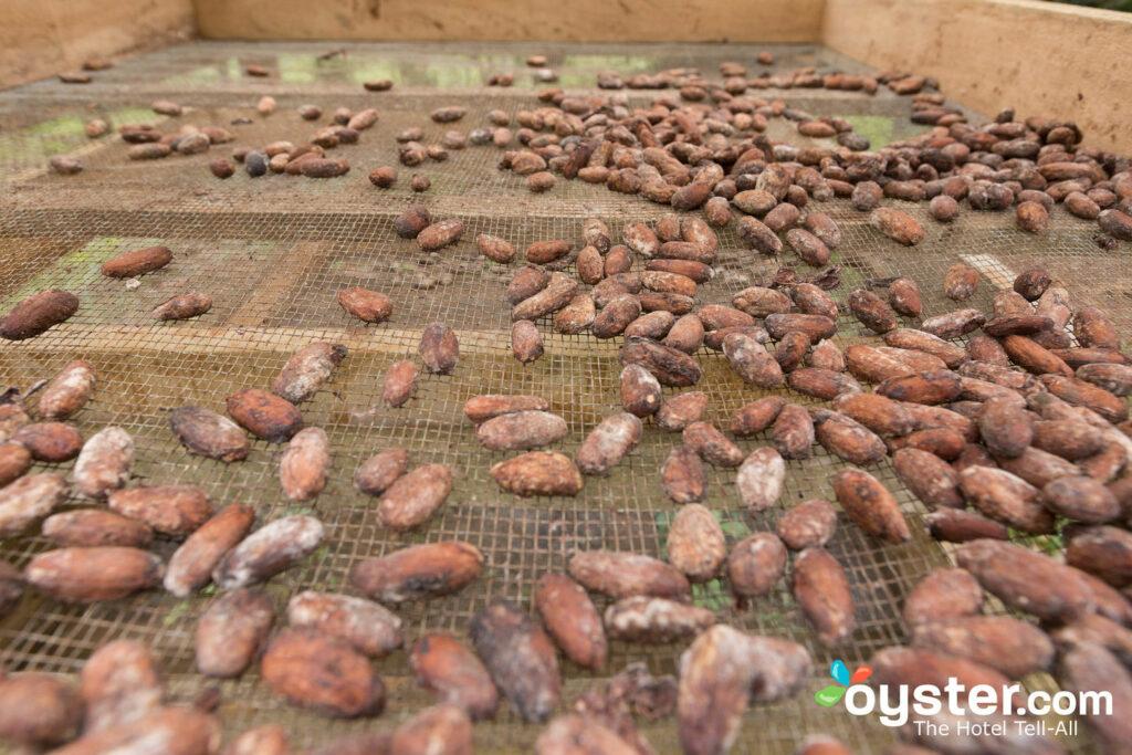 Fèves de cacao au Finca Luna Nueva Lodge / Oyster