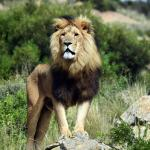 Volunteer Work With Lions In South Africa Lionsrock Lion Sanctuary Oyster Worldwide