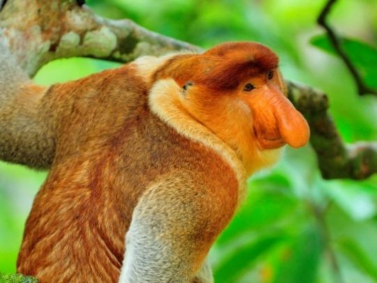 Wildlife conservation volunteering Borneo