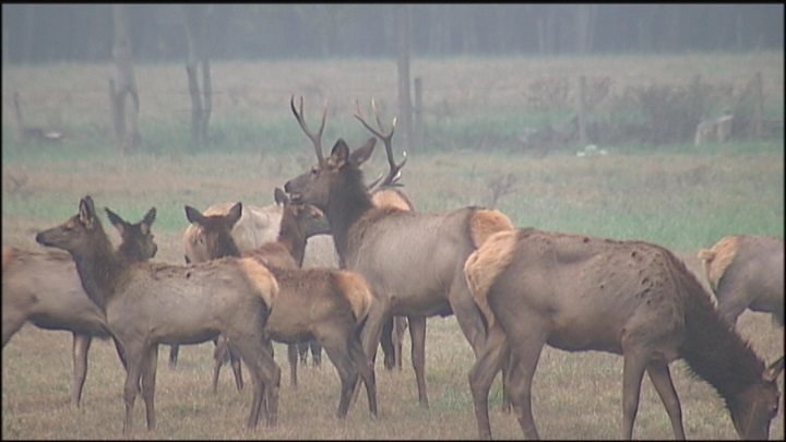 herd of elk_1456446003945.jpg