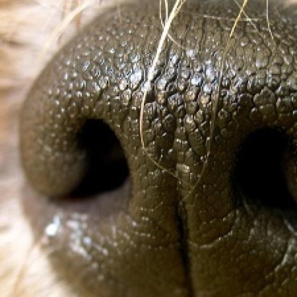 Dogs-nose-jpg_20160805145704-159532
