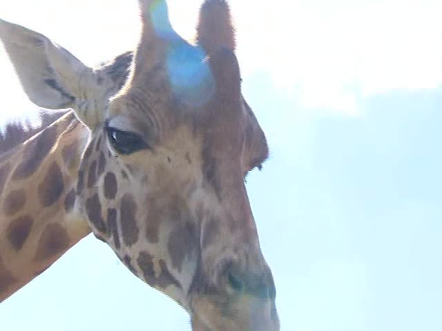 Giraffes Facing Possible Extinction_93492417