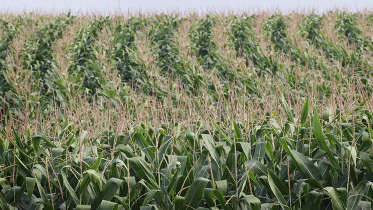 corn maze22137982-159532