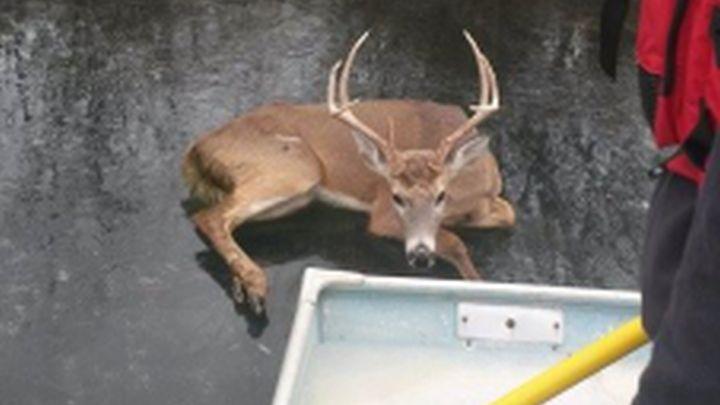 deer saved_1514584358881.jpg.jpg