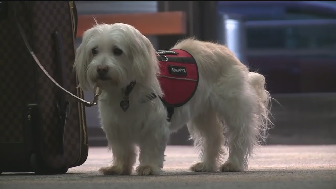 Airline_Cracks_Down_on_Service_Dogs_2_0_20180121141537