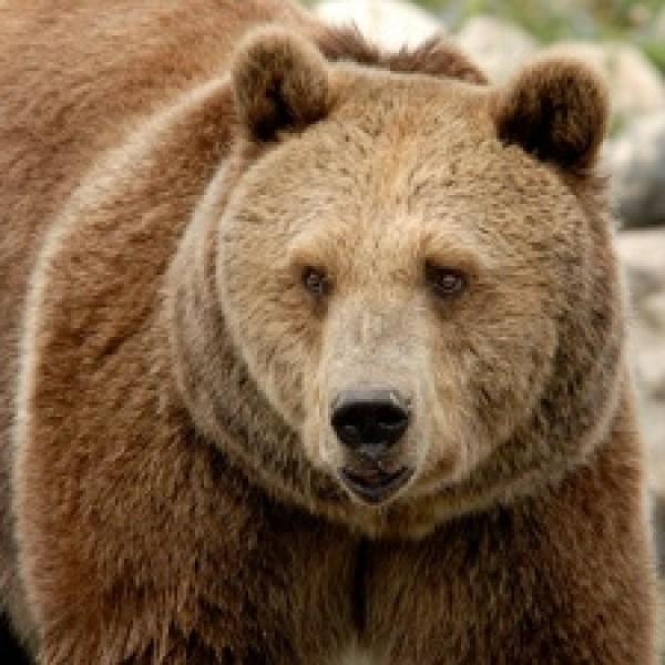 Grizzly-Bear-hunting-jpg_20161004150400-159532