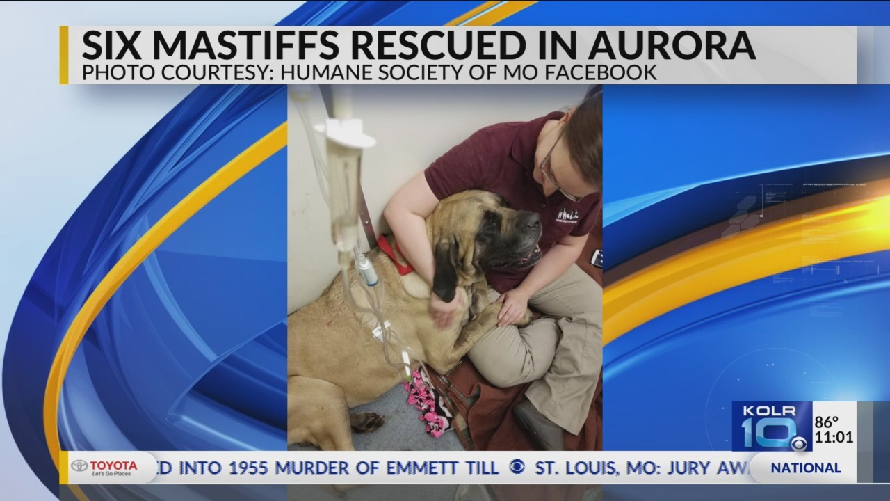 Humane_Society_Rescues_Mastiff_Dogs_0_20180713161108