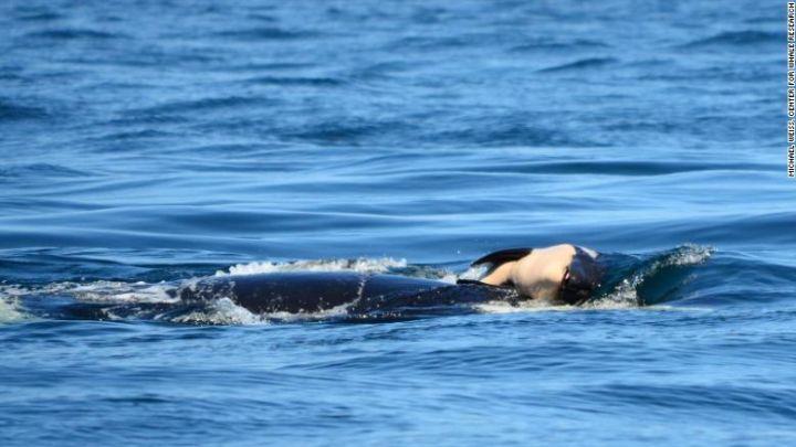 orca mom_1532739371515.jpg.jpg