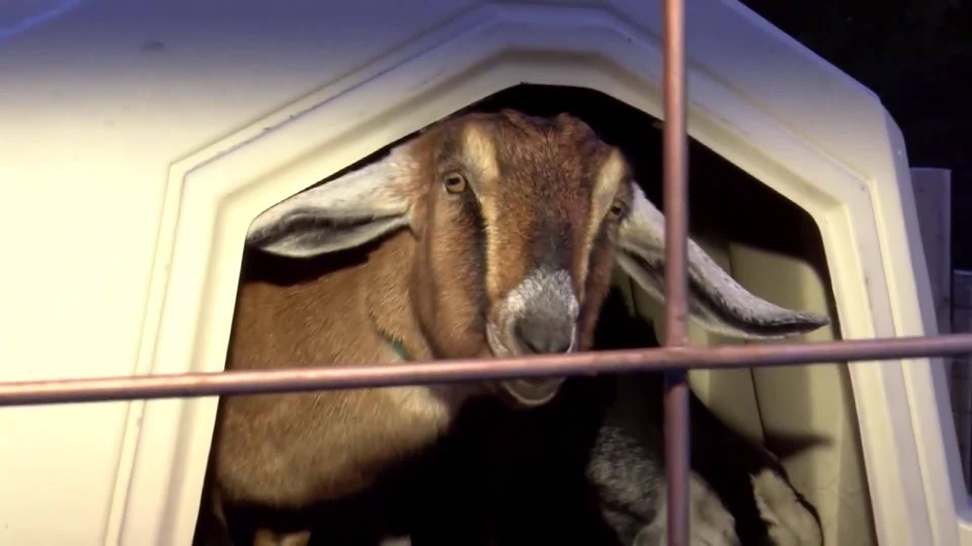 Vermont_Town_Elects_Goat_as_Mayor_7_20190309171149