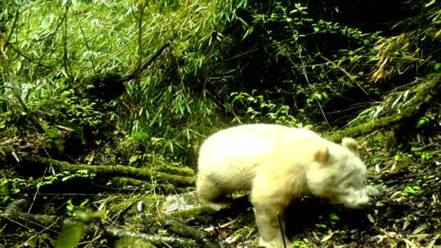 cbsn-fusion-first-ever-photo-of-white-albino-panda-revealed-thumbnail-1860119-640x360_1559081051221.jpg