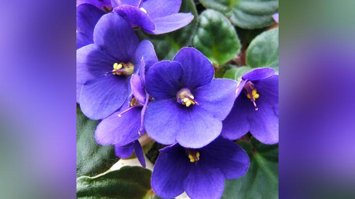 african violet_1560256499548.jpg.jpg