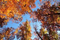 Picture looking up at the sky and the fall color of the leaves taken at Busiek State Forest and Wildlife Area, Missouri
