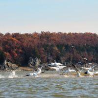 White Pelicans at Truman Reservoir