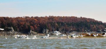 White Pelicans on Harry S Truman Lake at Bucksaw
