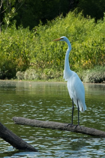 Great Egret on the James River above Lake Springfield, Missouri