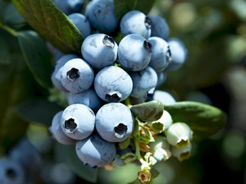 OZblu Blueberries