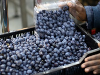 Loads of blueberries being poured into a crate