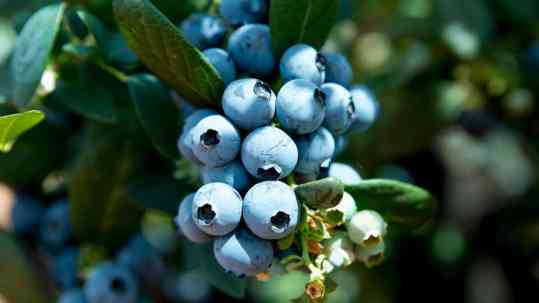 OZblu leading producer of blueberries