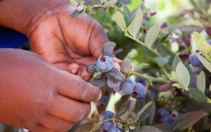 OZblu Harvesting Blueberries
