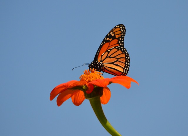 the-monarch-butterfly