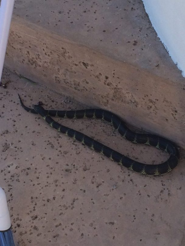 A very large gopher snake came by to visit, Philabaum Professional Painting, Tucson, AZ