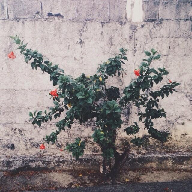 Arbusto de Cayenas
