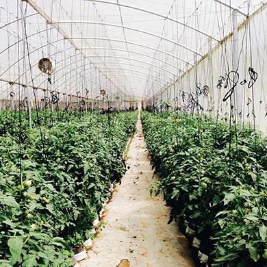 Cultivo controlado de tomates