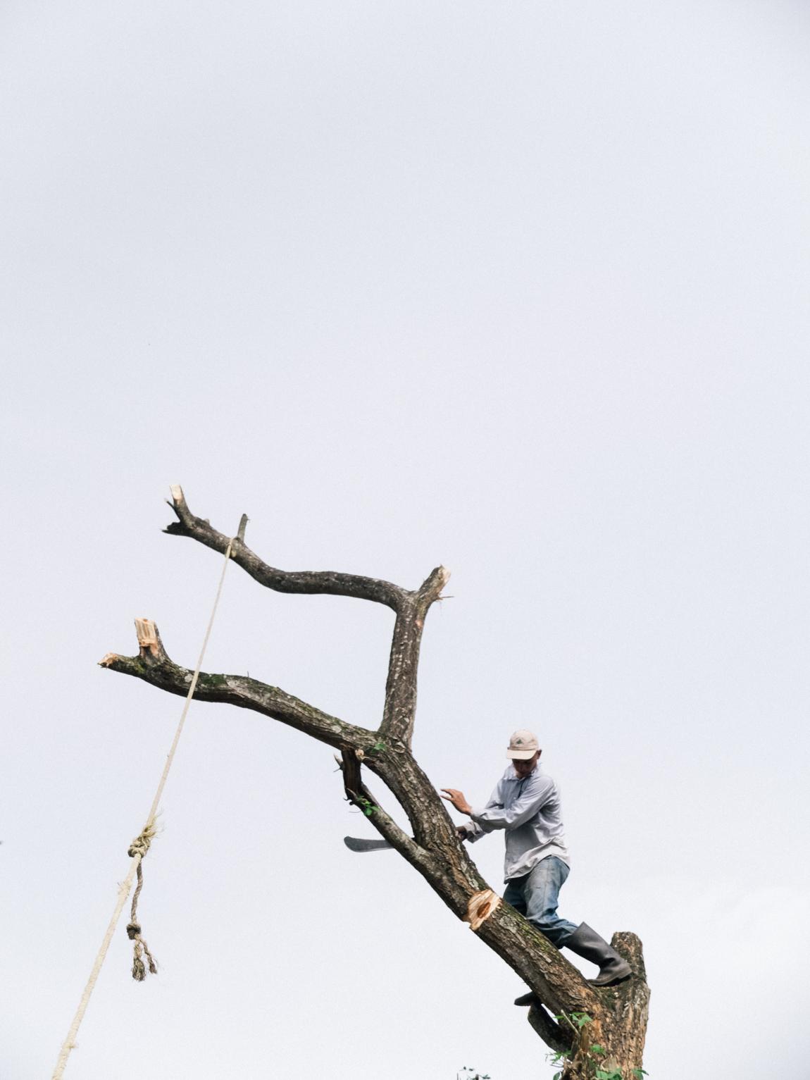 Hombre Cortando un Árbol